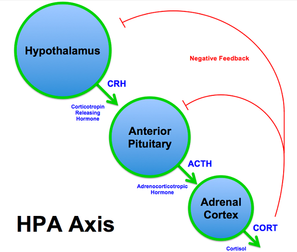 HPA_Axis_Diagram